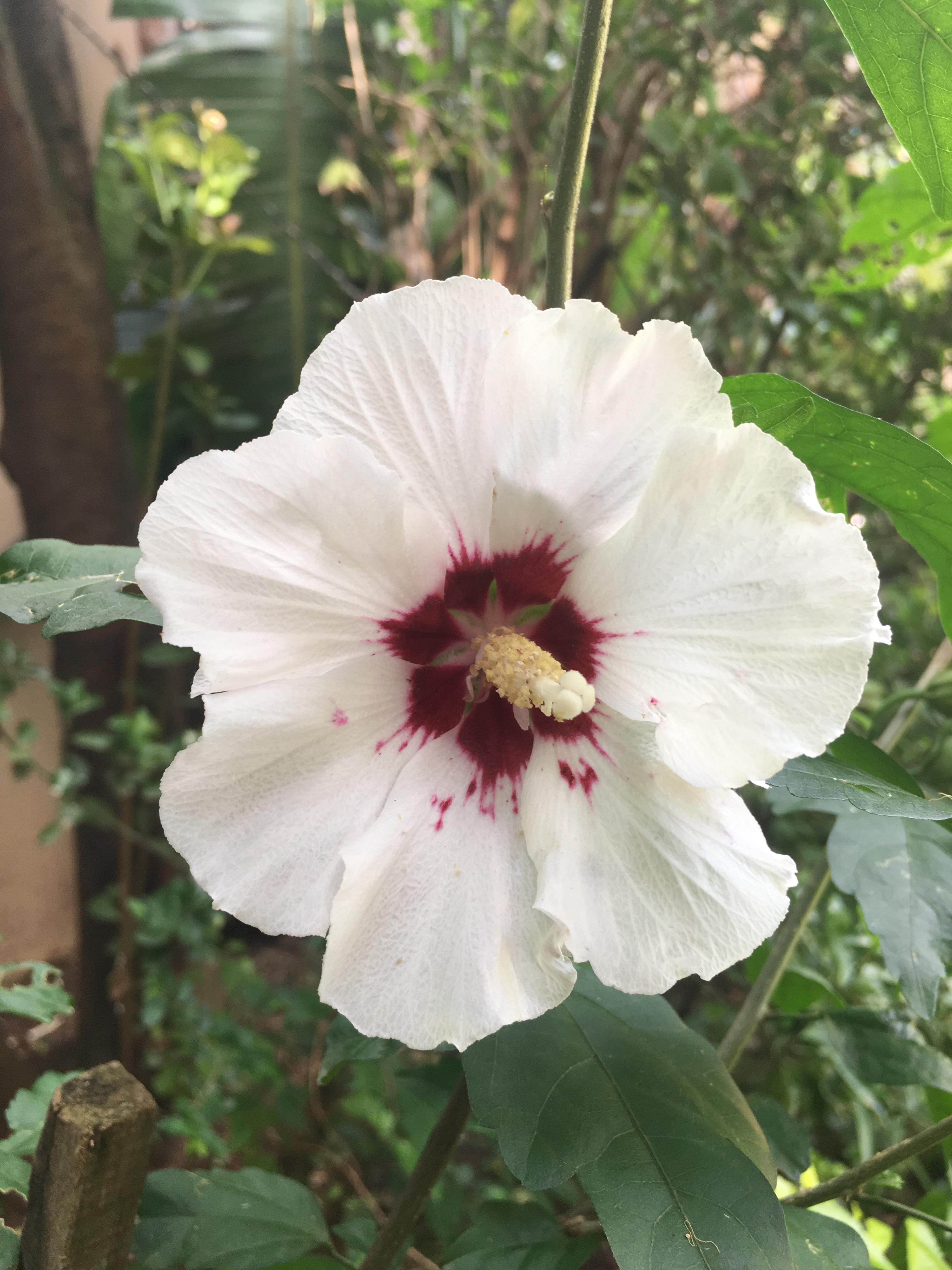 Original Hibiscus fkower