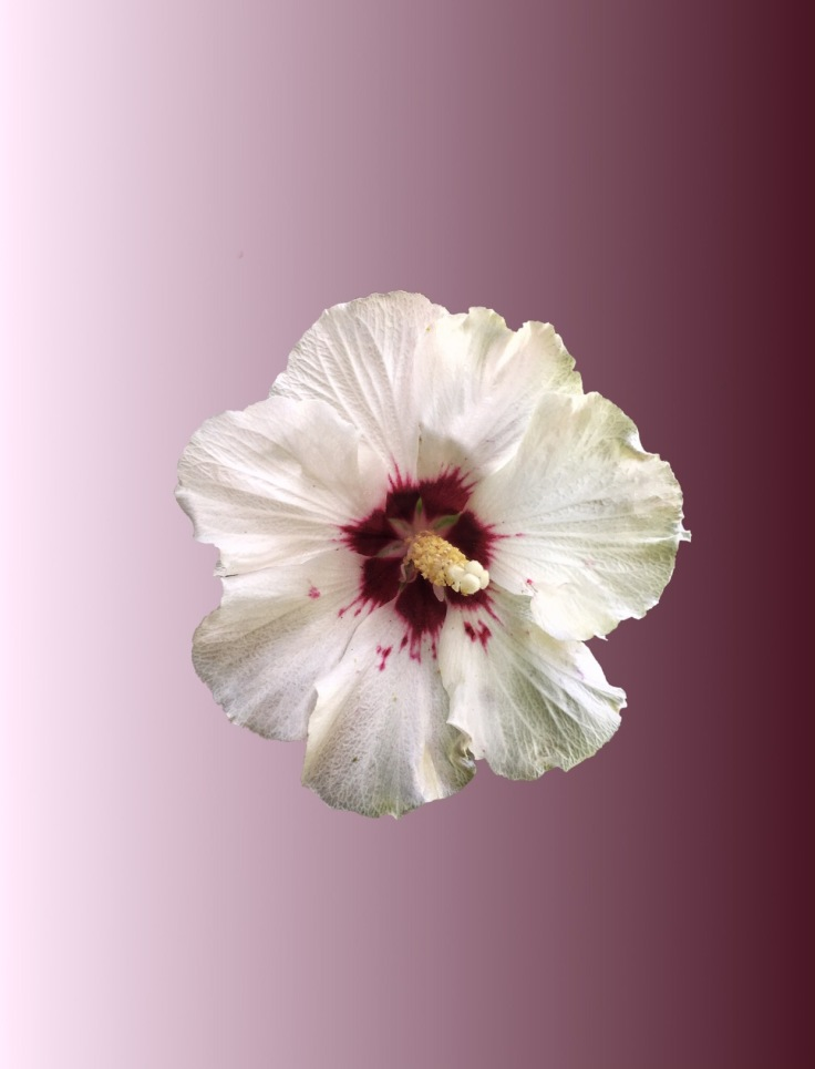 Masked Hibiscus flower